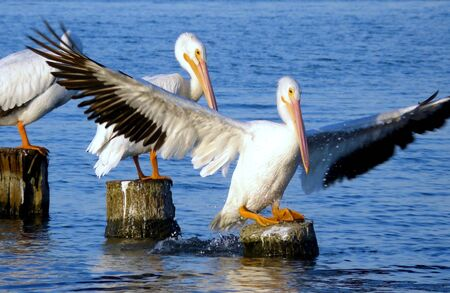 White Pelican Landing on Piling