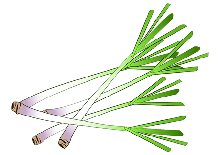 lemongrass,isolated,vector illustration Illustration