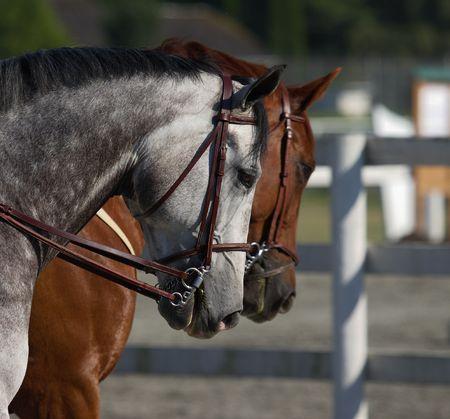 ローカル障害飛越競技大会で 2 つの美しい馬