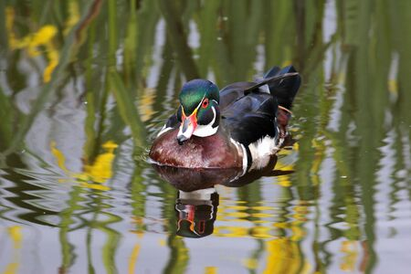 Wood duck reflections at Burnaby lake sanctuary photo