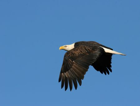 American bald eagle in flight photo