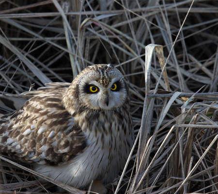 野草に隠れている短い耳フクロウ 写真素材