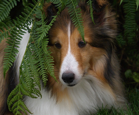 amongst: sheltie hiding amongst the ferns Stock Photo