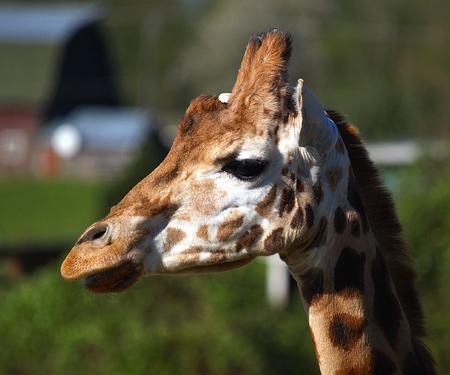 profile: Giraffe Profile