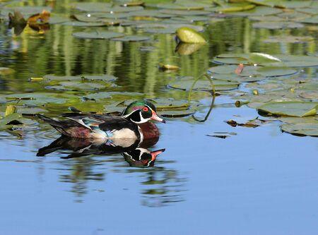Wood duck réflexions à Burnaby lac sanctuaire Banque d'images - 1781604