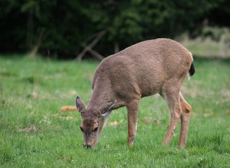 deer grazinin in meadow
