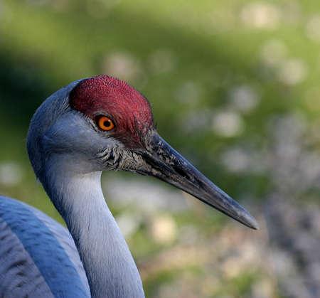 sandhill crane: Sandhill crane head shot Stock Photo