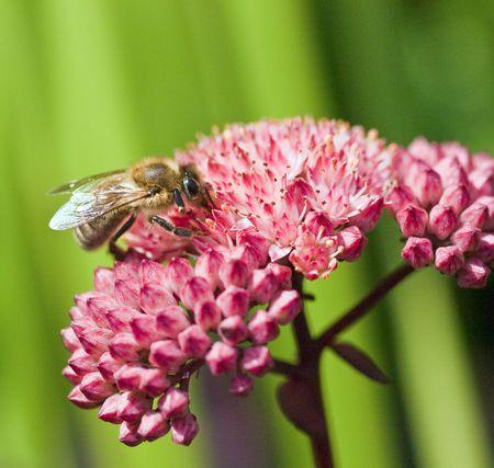 忙しい蜂収集花粉 写真素材