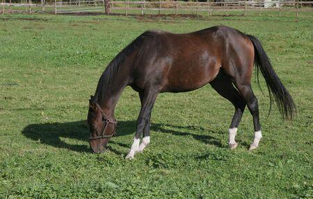 地元の牧場の草地における放牧馬