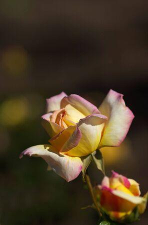 夏の私の庭に咲くバラ 写真素材