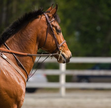 horse ready to compete