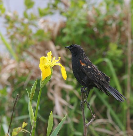 レッドウィング黒鳥ポーズ