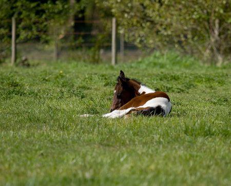 地元牧場で生まれたての子馬 写真素材