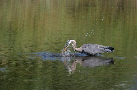 魚を捕るオオアオサギ 写真素材