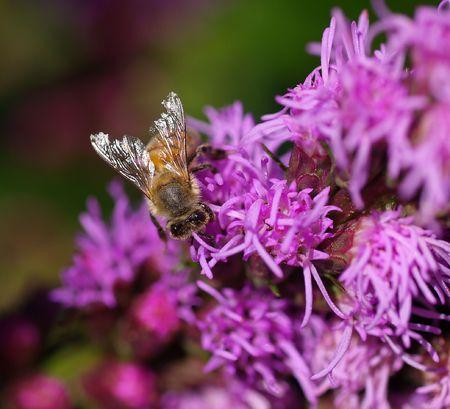 私の庭で忙しい蜂