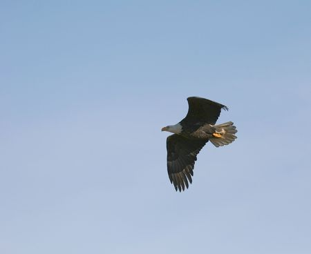 飛行中のアメリカの白頭鷲 写真素材