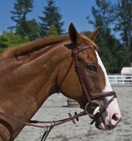 Horse  Head shot Banco de Imagens