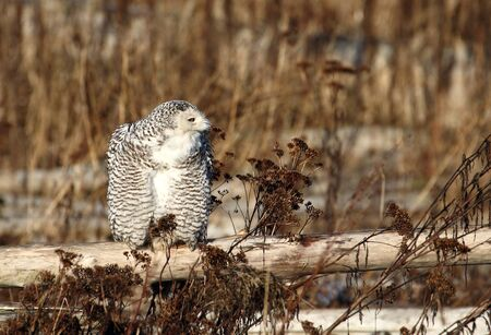Snowy Owl at Bounday Bay