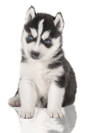 portrait of a puppy Siberian huskies isolated on a white background photo