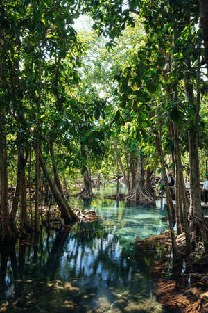 Mangrove forest with emerald pool in Krabi, Thailand
