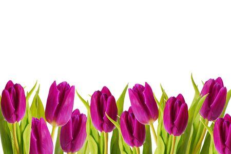 border of purple color tulips Stock Photo