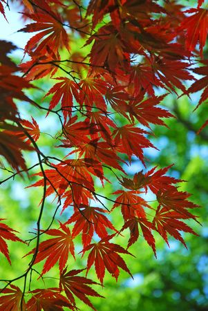 japanese maple red leaves background photo