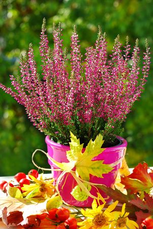 pot of pink  heather flowers in autumn garden photo