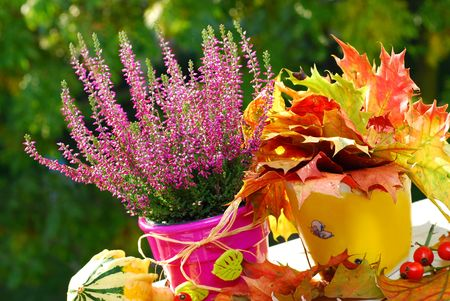 heather: pot of pink  heather flowers in autumn garden