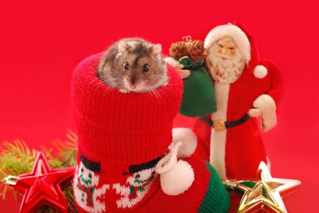 santa hamster: little hamster sitting in christmas sock and santa claus figurine  against red background