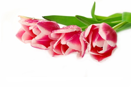 fresh pink tulips with dew drops  lying on white background photo