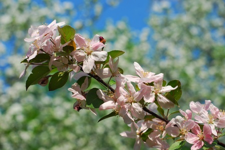 branch of pink flowers  on blooming apple tree in spring orchard Stock Photo - 13564663
