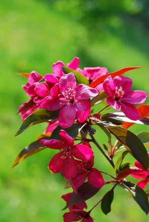 branch of pink flowers on blooming apple tree in spring park  against green grass photo