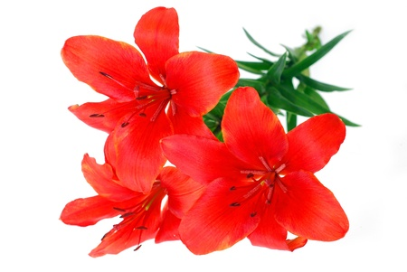 bunch of burgundy red tiger lily isolated on white photo