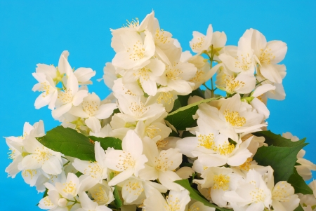 bunch of jasmine flowers against blue background photo