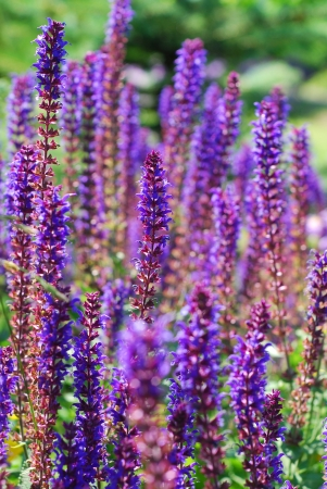 officinalis: field of fresh purple flowers of salvia officinalis in the garden Stock Photo