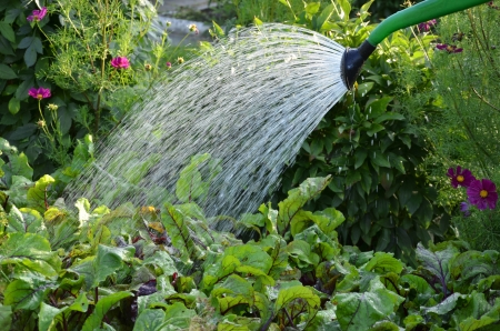 watering can: close-up on water pouring from watering can on beet leaves in the garden Stock Photo