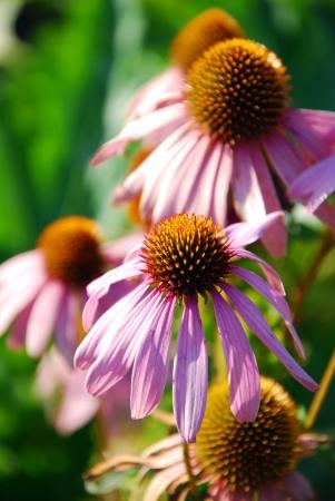 purpurea: echinacea purpurea flowers in the garden