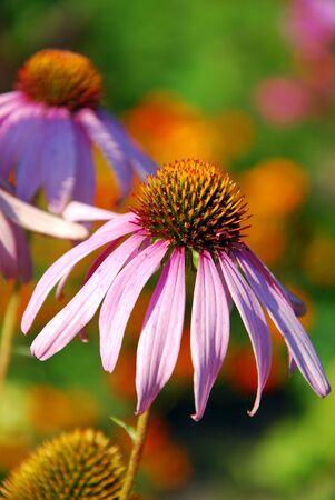 echinacea purpurea flowers in the garden Stock Photo - 15505732