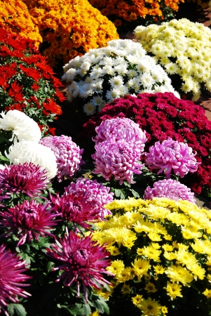 golden pot: different colors and varieties of chrysanthemums