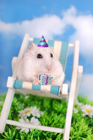 little white hamster celebrating birthday sitting on deck chair with gift box photo