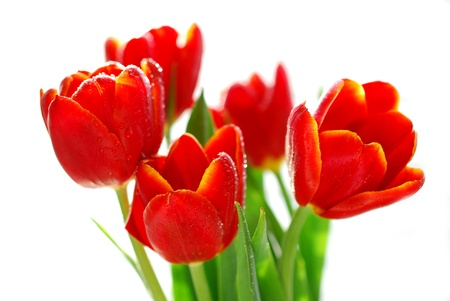 bunch of red tulips with water droplets in sunlight isolated on white Stock Photo - 19380350