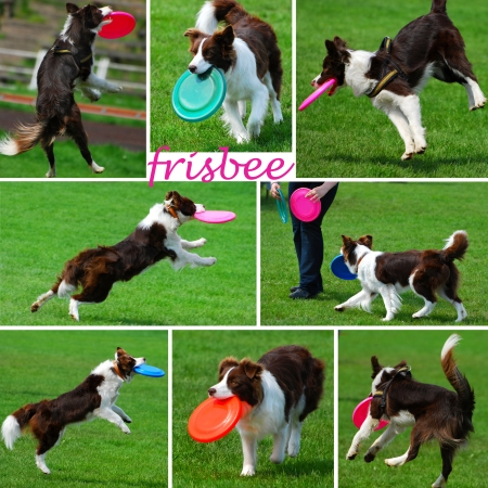 collage with funny dogs playing with frisbee disk outdoor photo