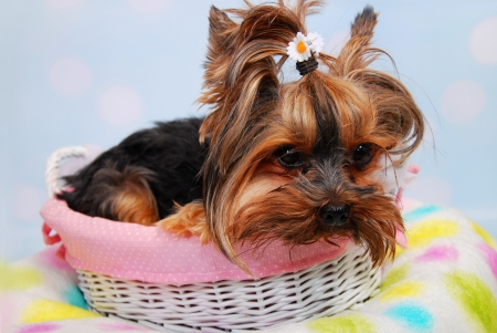 lovely Yorkshire Terrier dog lying in white wicker basket photo