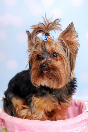 lovely Yorkshire Terrier dog sitting in pink basket photo