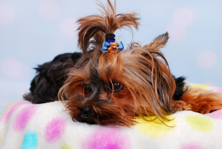 lovely Yorkshire Terrier dog lying on the colorful blanket  photo