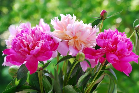 bunch of beautiful pink  peony against green  garden background