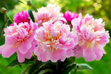 Kilka pięknej różowej piwonii na tle zielonym ogrodzie