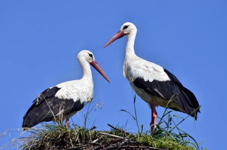 two storks in the nest against blue sky