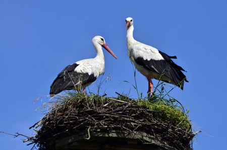 reproduction: two storks in the nest against blue sky