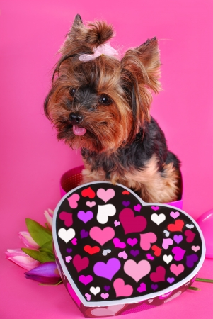 lovely yorkshire terrier dog sitting in heart shape box on pink background photo